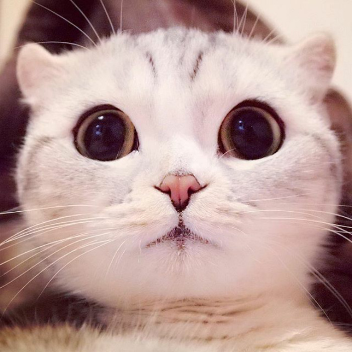 The Most Beautiful Japanese Kitty Eyes 6 Meet Hana, A Japanese Kitty With the Most Beautiful Eyes