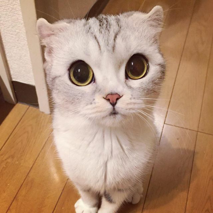 The Most Beautiful Japanese Kitty Eyes Meet Hana, A Japanese Kitty With the Most Beautiful Eyes