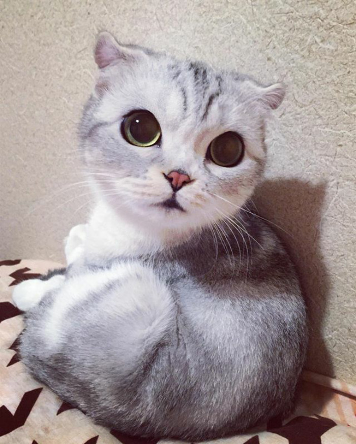 The Most Beautiful Kitty Meet Hana, A Japanese Kitty With the Most Beautiful Eyes
