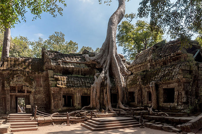 Ta Promh Temple In Cambodia 10+ Badass Trees That Refuse To Die No Matter What