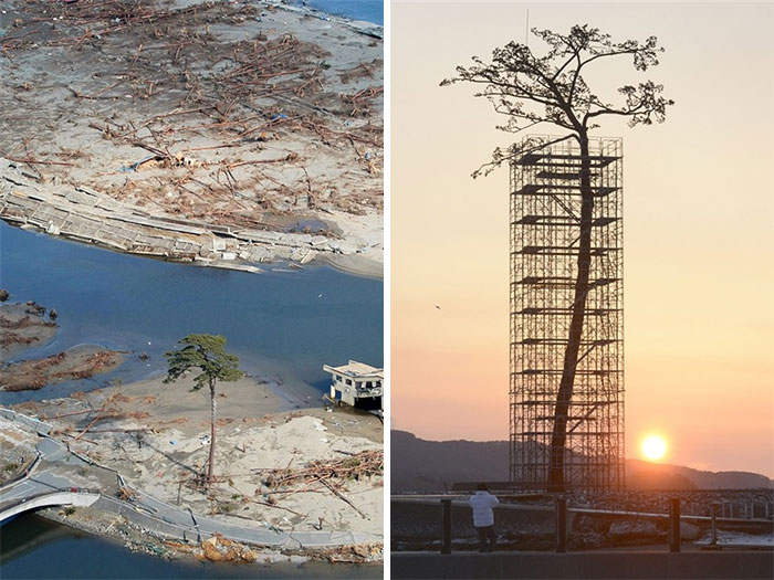 The Only Tree That Survived The Tsunami In Japan Between 70000 Trees. Today Protected And Restored 10+ Badass Trees That Refuse To Die No Matter What