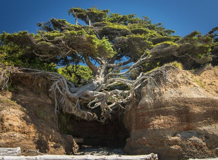 Tree Of Life Olympic National Park Washington 10+ Badass Trees That Refuse To Die No Matter What