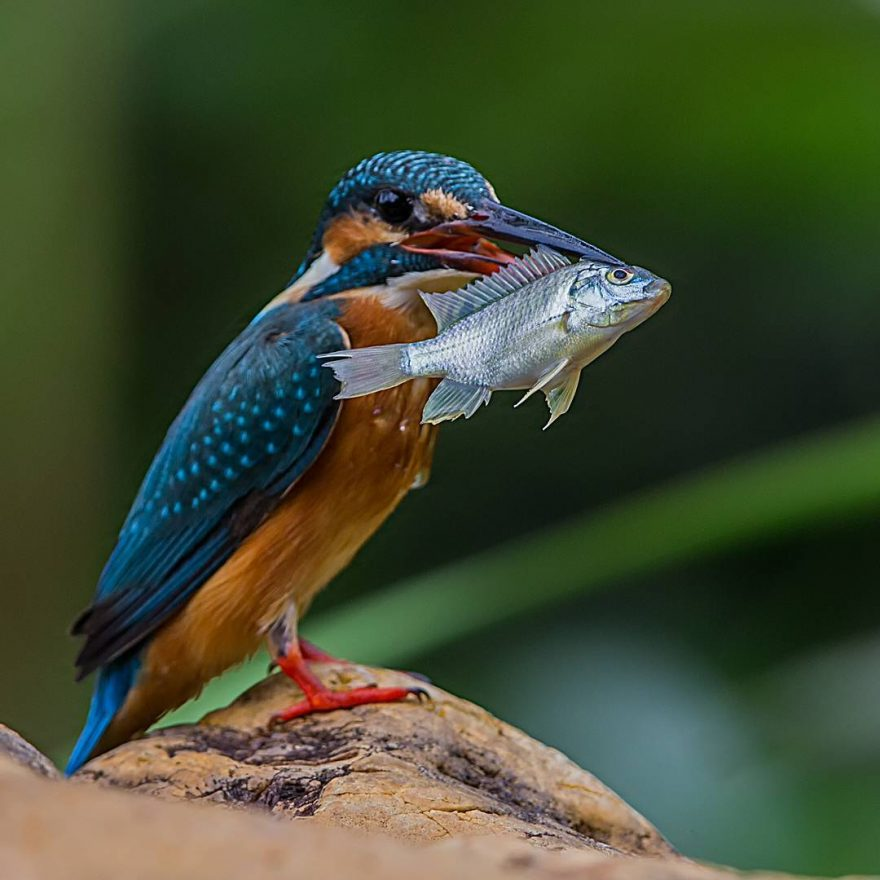 Beautiful Bird Photography by Johnson Chua 2 Beautiful Bird Photography by Johnson Chua