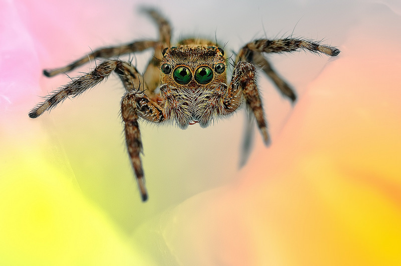 Beautiful Eye Photos of Exotic Spiders 2 Hypnotizing Macro Photos of Exotic Spiders Staring Directly into Your Mind