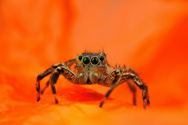 Beautiful Eye Photos of Exotic Spiders 3 Hypnotizing Macro Photos of Exotic Spiders Staring Directly into Your Mind