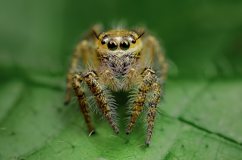 Beautiful Eye Photos of Exotic Spiders 4 Hypnotizing Macro Photos of Exotic Spiders Staring Directly into Your Mind