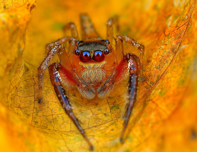 Beautiful Eye Photos of Exotic Spiders Hypnotizing Macro Photos of Exotic Spiders Staring Directly into Your Mind