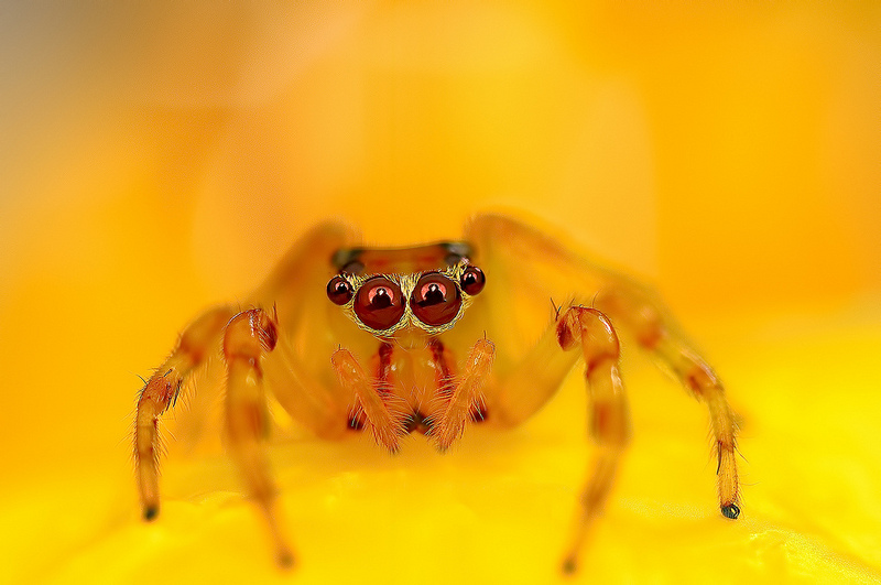 Beautiful Macro Eye of Exotic Spiders 1 Hypnotizing Macro Photos of Exotic Spiders Staring Directly into Your Mind