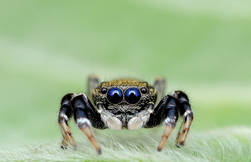 Beautiful Macro Eye of Exotic Spiders 3 Hypnotizing Macro Photos of Exotic Spiders Staring Directly into Your Mind