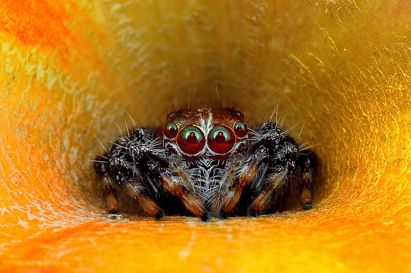 Beautiful Macro Eye of Exotic Spiders Hypnotizing Macro Photos of Exotic Spiders Staring Directly into Your Mind