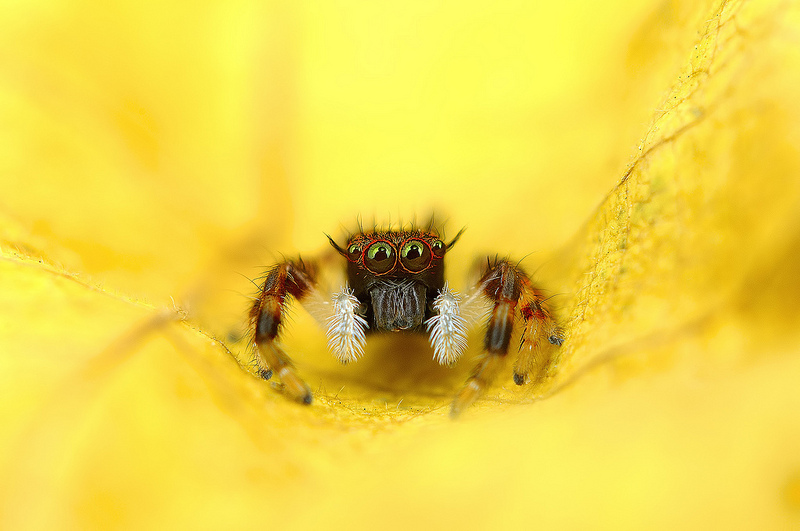 Beautiful Macro Photos of Exotic Spiders 1 Hypnotizing Macro Photos of Exotic Spiders Staring Directly into Your Mind
