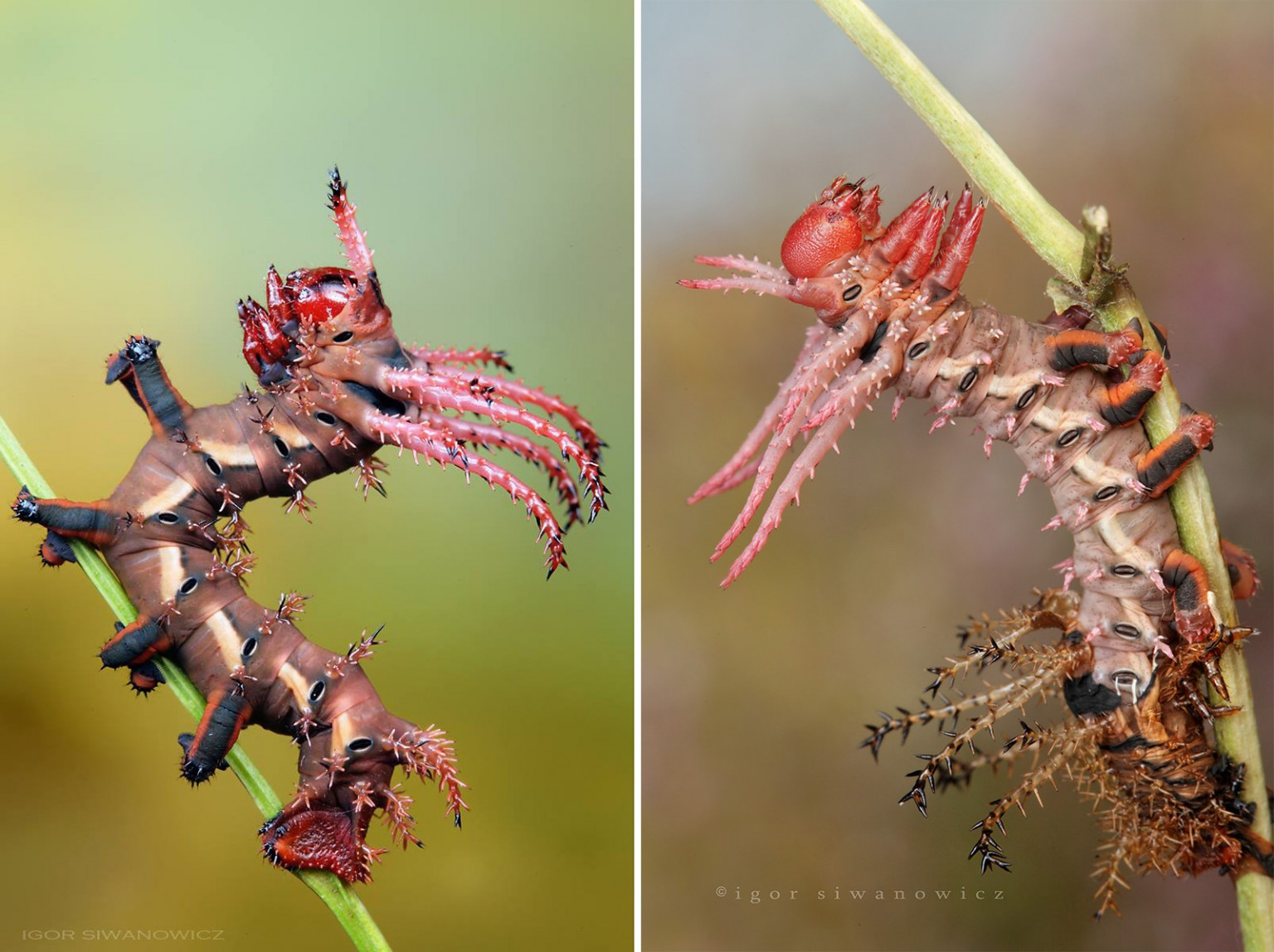 Radically Unusual Caterpillars Captured by Photographer Igor Siwanowicz 1 Radically Unusual Caterpillars Captured by Photographer Igor Siwanowicz