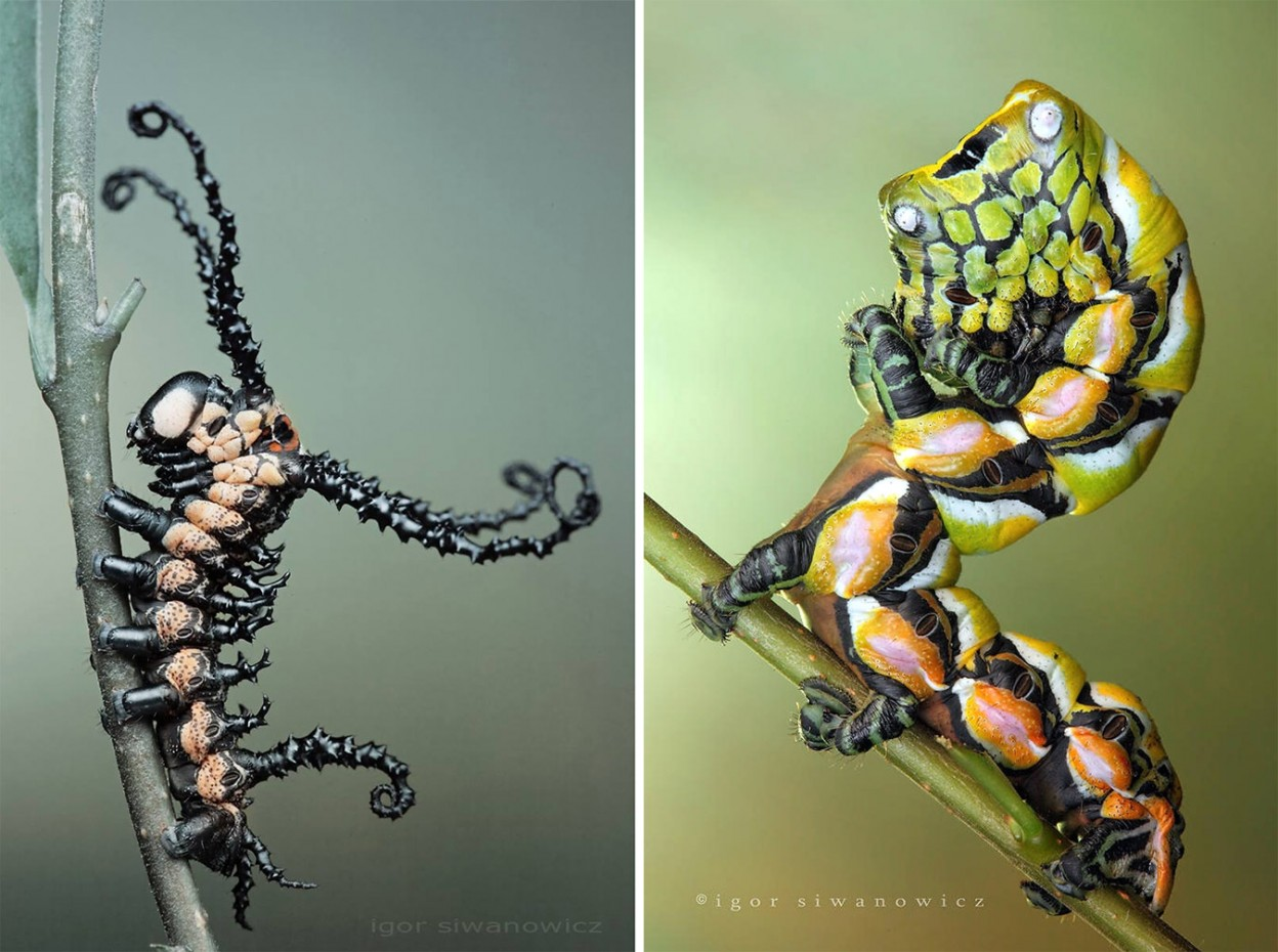 Radically Unusual Caterpillars Captured by Photographer Igor Siwanowicz 3 Radically Unusual Caterpillars Captured by Photographer Igor Siwanowicz