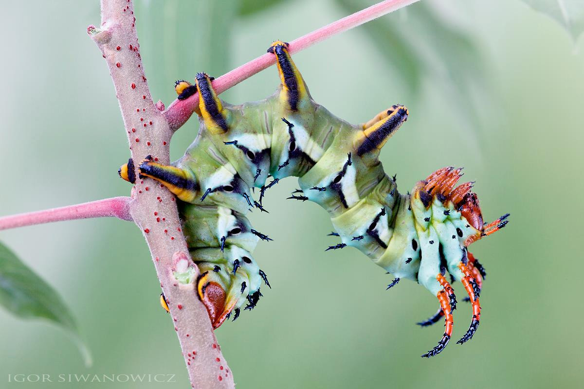 Radically Unusual Caterpillars Captured by Photographer Igor Siwanowicz 6 Radically Unusual Caterpillars Captured by Photographer Igor Siwanowicz