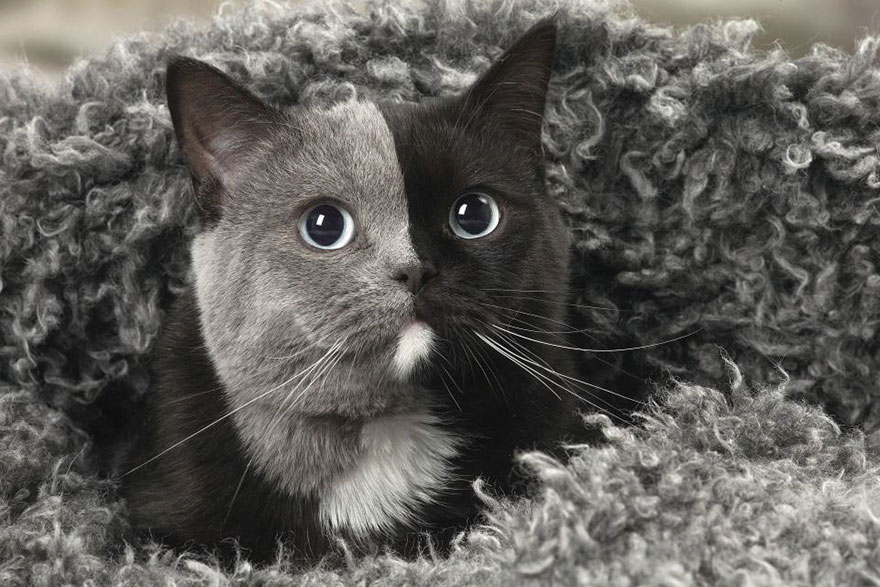 Rare Kitten Born With 'Two Faces' Grows Up Into The Most Beautiful Cat Ever 8 Rare Kitten Born With 'Two Faces' Grows Up Into The Most Beautiful Cat Ever