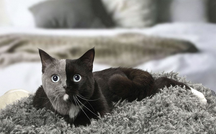 Rare Kitten Born With 'Two Faces' Grows Up Into The Most Beautiful Cat Ever 9 Rare Kitten Born With 'Two Faces' Grows Up Into The Most Beautiful Cat Ever