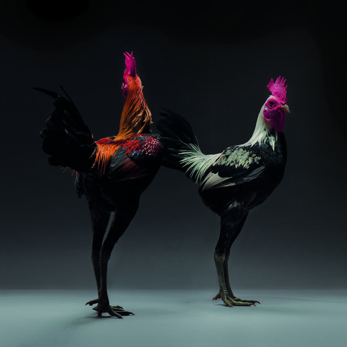 "Most Beautiful Chickens on the Planet 13 Portraits of ""Most Beautiful Chickens on the Planet"" Capture Their Underrated Beauty"