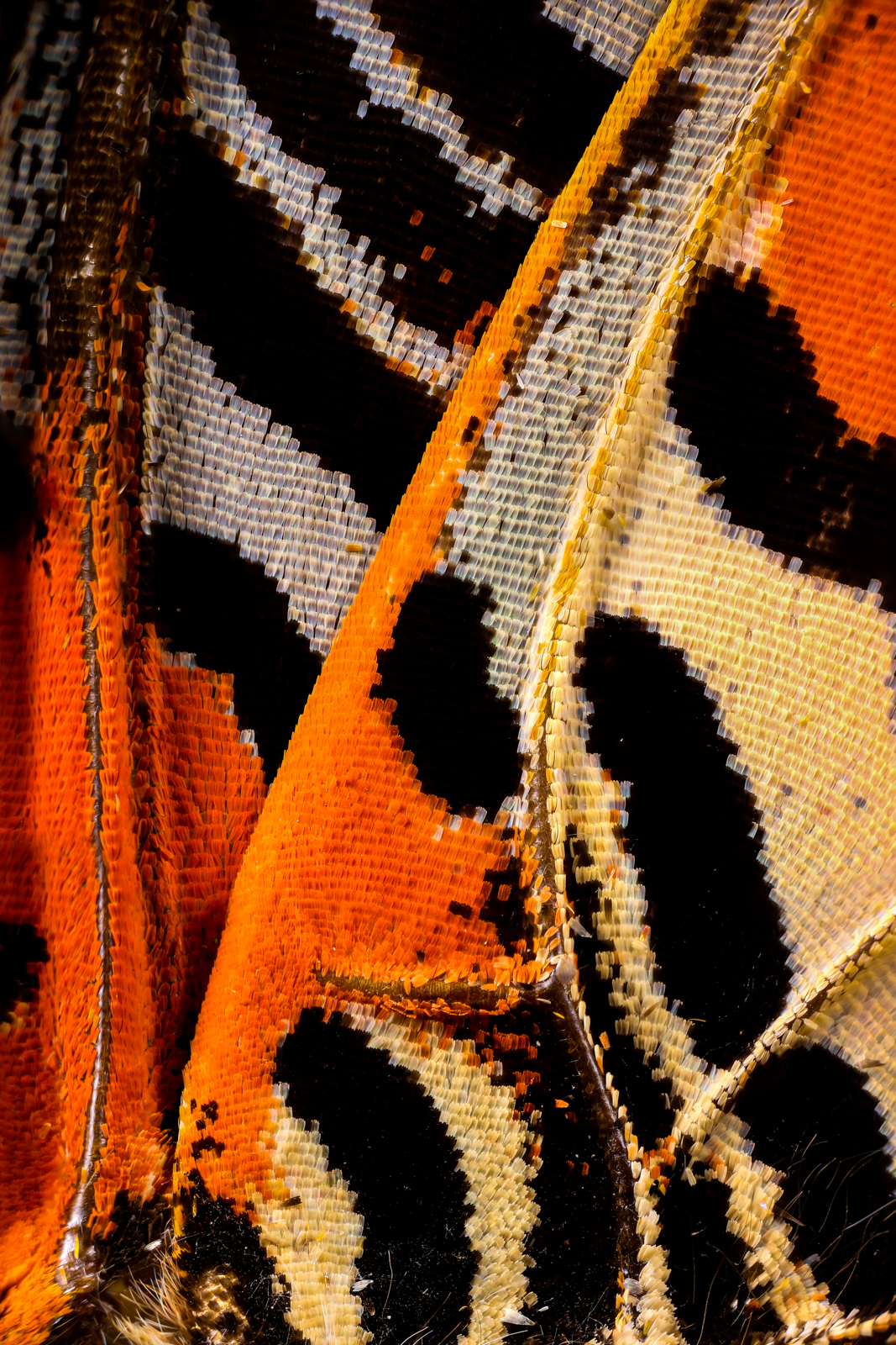 Macro photo of butterfly wing 3 Wonderful Macro Photography of Butterflies Wing by Chris Perani