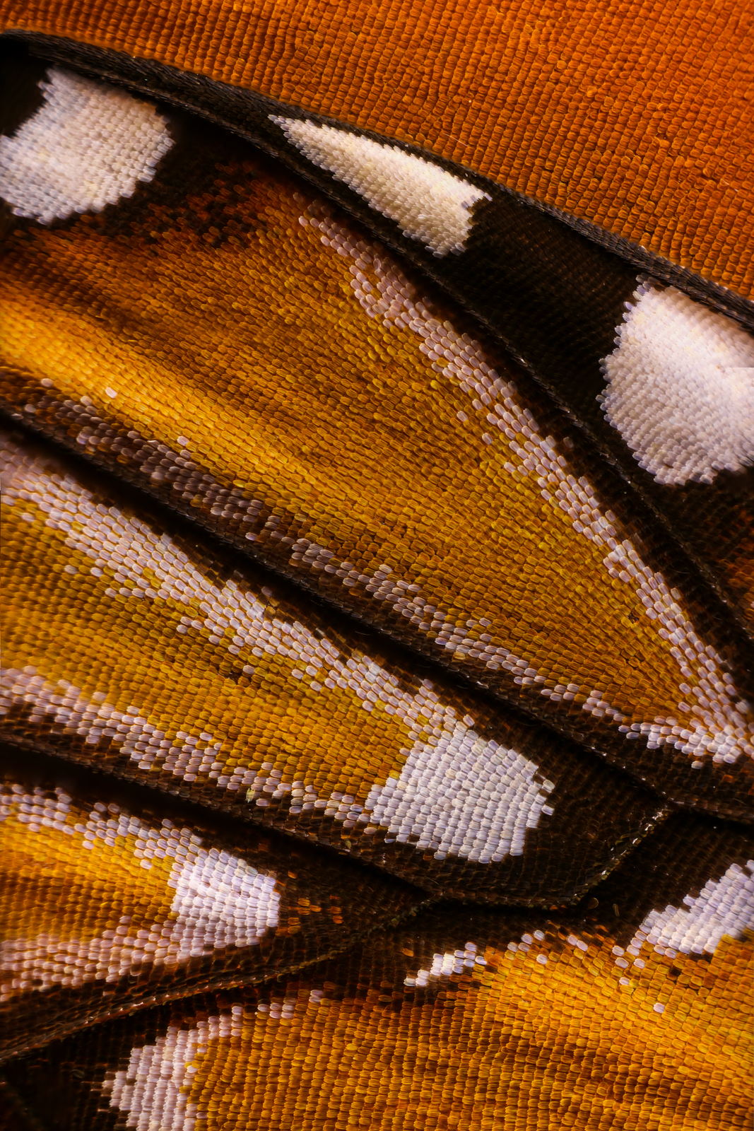 Macro photo of butterfly wing 5 2 Wonderful Macro Photography of Butterflies Wing by Chris Perani
