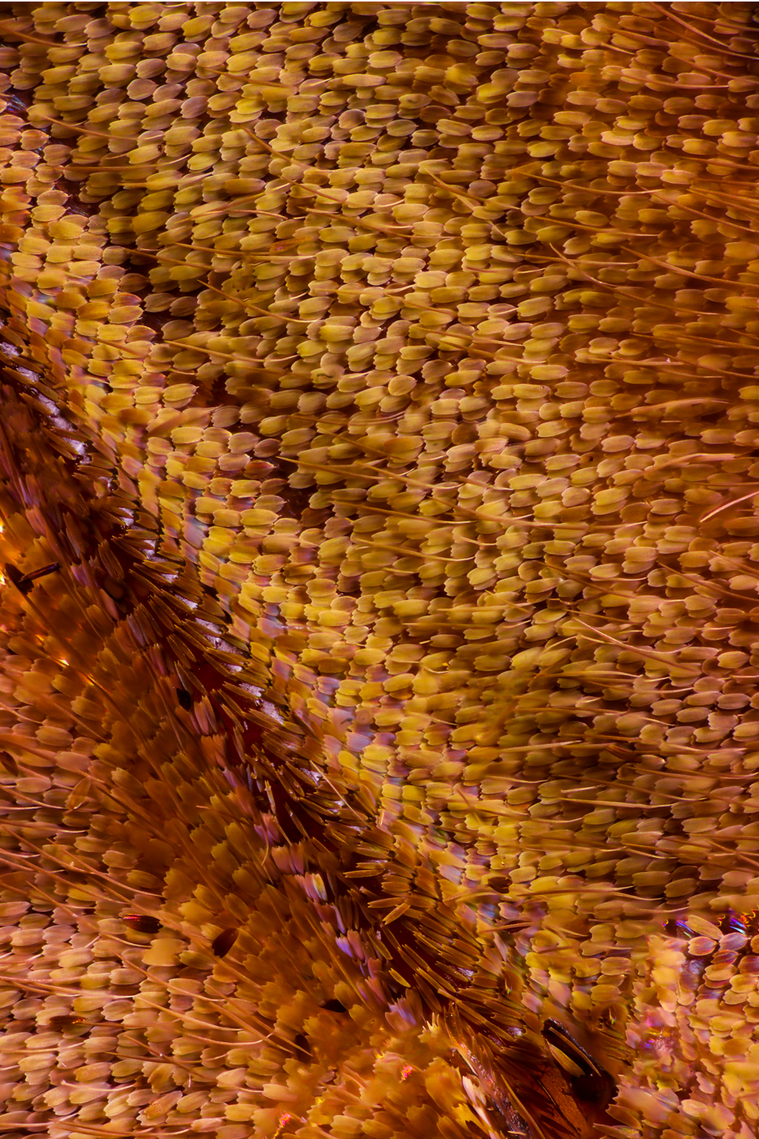 Macro photo of butterfly wing 50 Wonderful Macro Photography of Butterflies Wing by Chris Perani