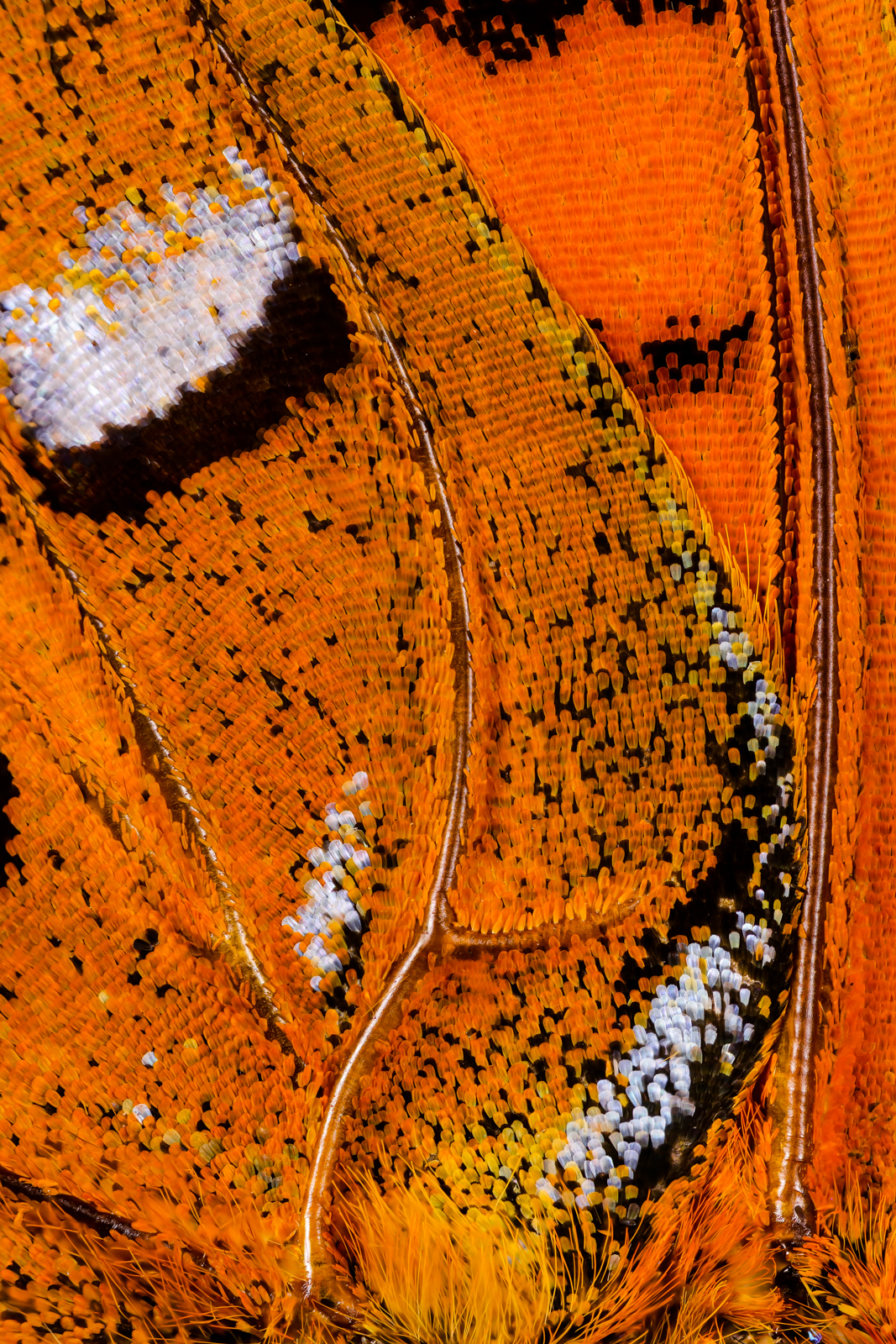 Macro photo of butterfly wing 71 2 Wonderful Macro Photography of Butterflies Wing by Chris Perani