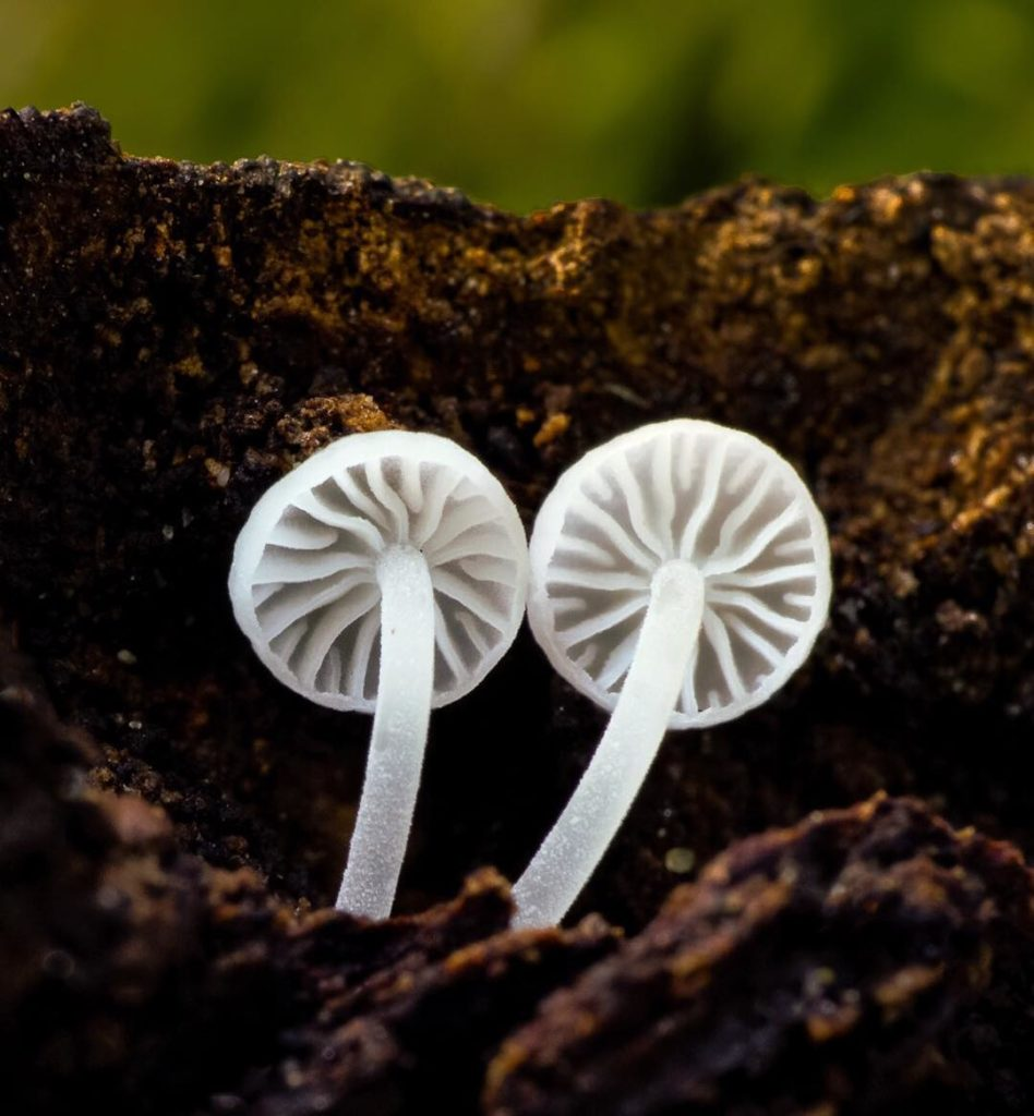 Fascinating Fungi of Northern California by Alison Pollack 8 948x1024 Fascinating Fungi of Northern California by Alison Pollack